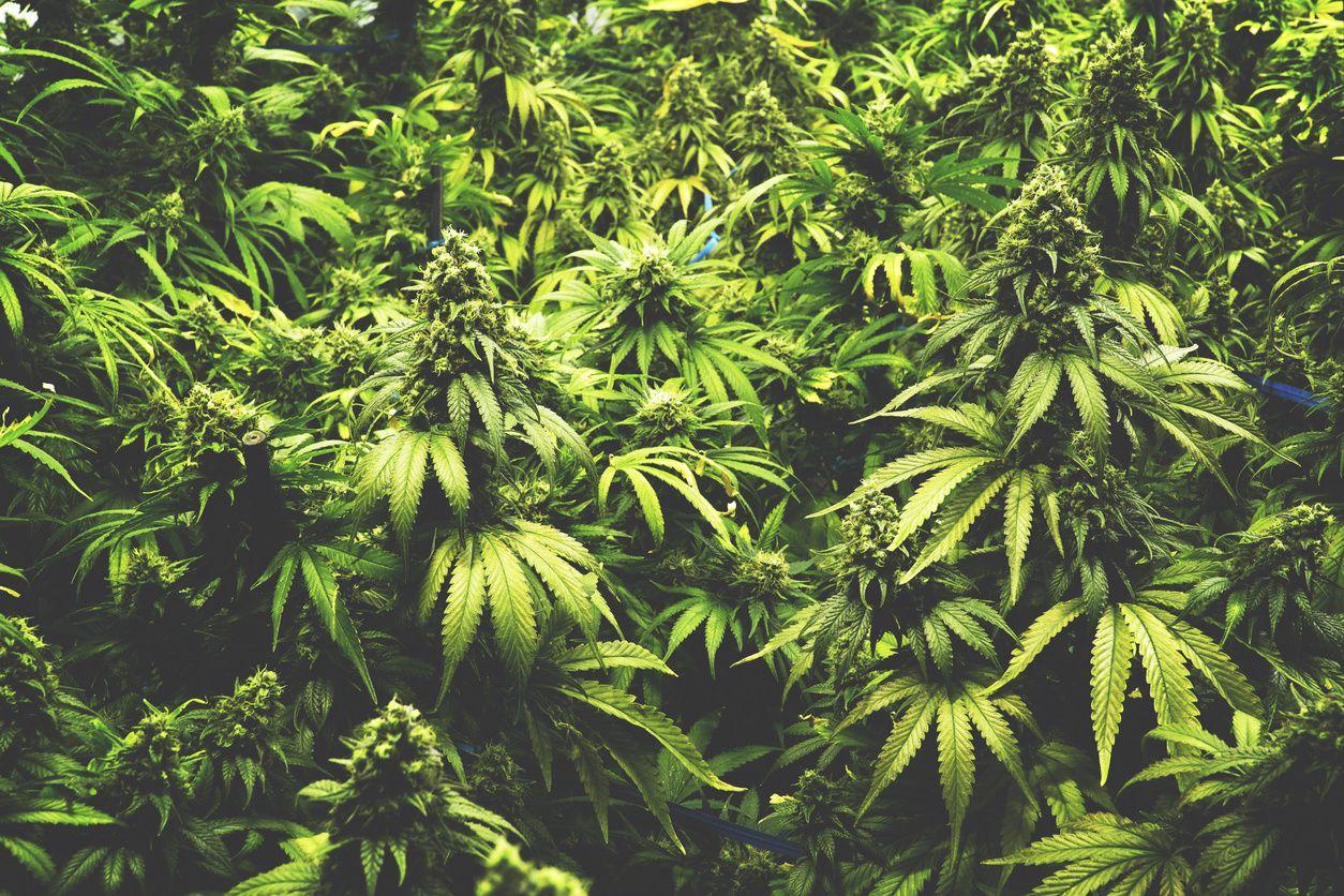New Colorado Report: Cost of Marijuana Legalization Far Outweighs Tax Revenues